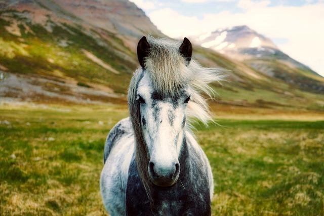 islandský poník.jpg