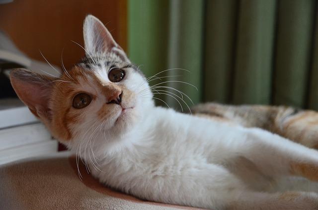 ležiaca mačka